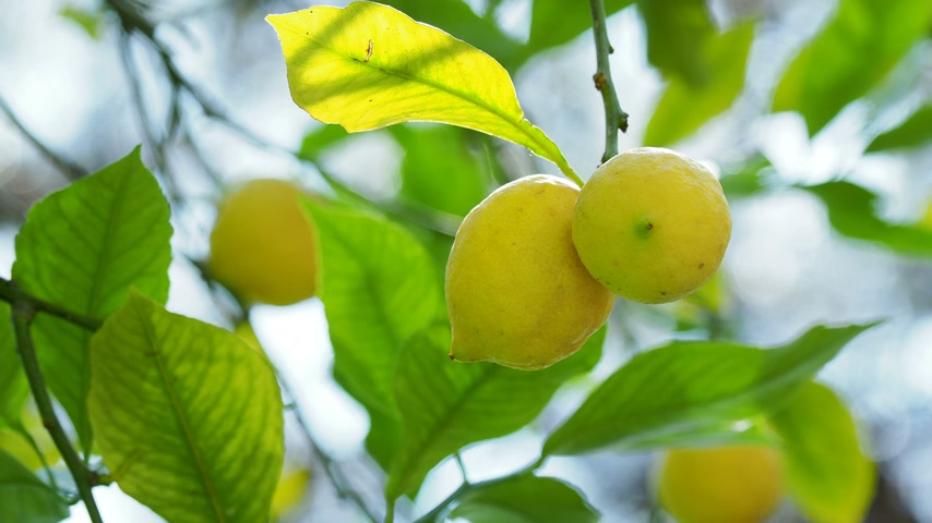 cytryna : Lemon tree with fresh ripe fruits in foliage. Turkey.