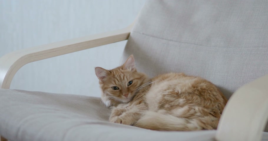 imbir : Cute ginger cat lying on beige chair. Fluffy pet going to sleep. Cozy home. Wideo