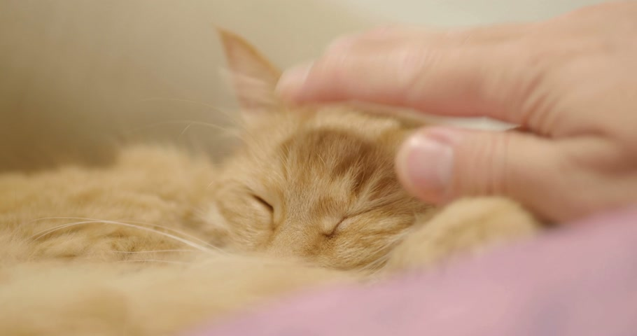 imbir : Cute ginger cat lying on violet blanket. Close up footage of sleeping fluffy pet. Cozy home.