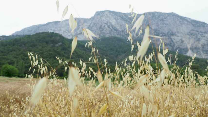 zab : Oat field at the foot of the mountain. Kemer, Turkey.