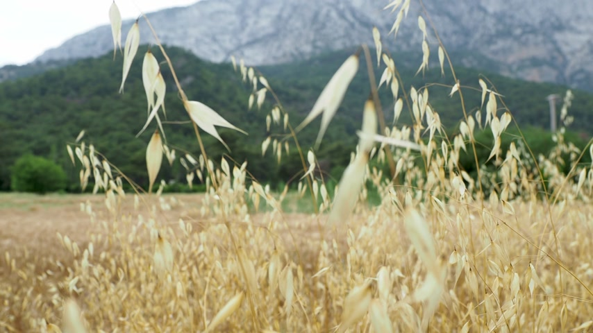 плотно : Oat field at the foot of the mountain. Kemer, Turkey.