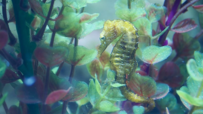 alga : Hippocampus guttulatus, commonly known as the long-snouted seahorse. Yellow marine fish.