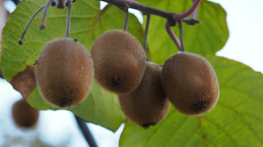 agrest : Growing Kiwifruit, kiwi or Chinese gooseberry. Actinidia deliciosa. Adler, Russia.
