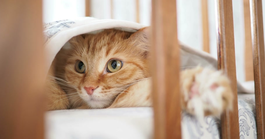 bonitinho : Cute curious ginger cat lying under blanket in child bed. Fluffy pet poked its head between rails of crib. Cozy morning at home.