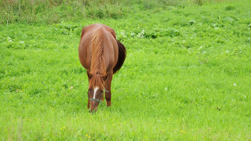 brute : Bay horse grazes on a green meadow and eats fresh grass. Kenozerskiy national park, Russia.