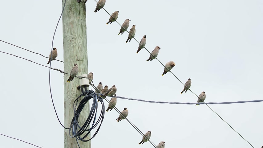 starling : Bohemian waxwing, Bombycilla garrulus, starling-sized passerine birds. Flock of them sitting on wires in Kenozerskiy national park. Russia. Stock Footage
