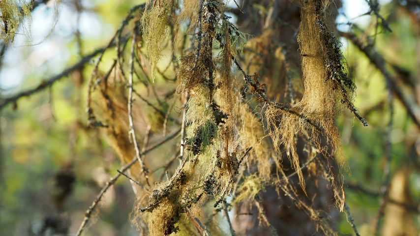 liken : Usnea barbata, commonly called Old mans beard or beard lichen. Kenozerskiy national park, Russia.