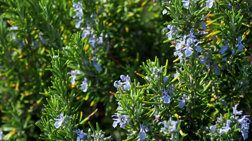 öv : Blooming Rosmar nus officin lis or rosemary. Natural background with blossoming perennial herb.