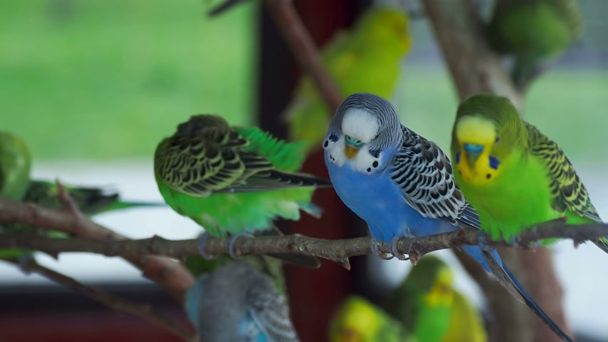 klec : Budgerigar or Melopsittacus undulatus or budgie or parakeet. Coloful green and blue birds are sitting on branch and cleaning feathers.