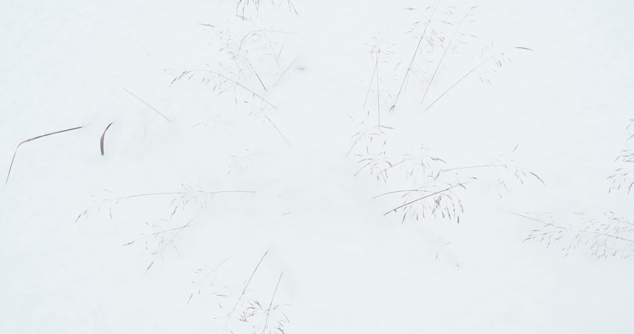 высушенный : Dried plants sticking out of the snow and shaking in the wind. Winter snowy field. Стоковые видеозаписи