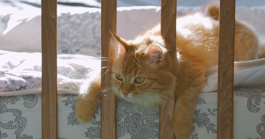 szopka : Cute ginger cat lying in child bed. Fluffy pet poked its head between rails of crib. Cozy morning at home. Wideo