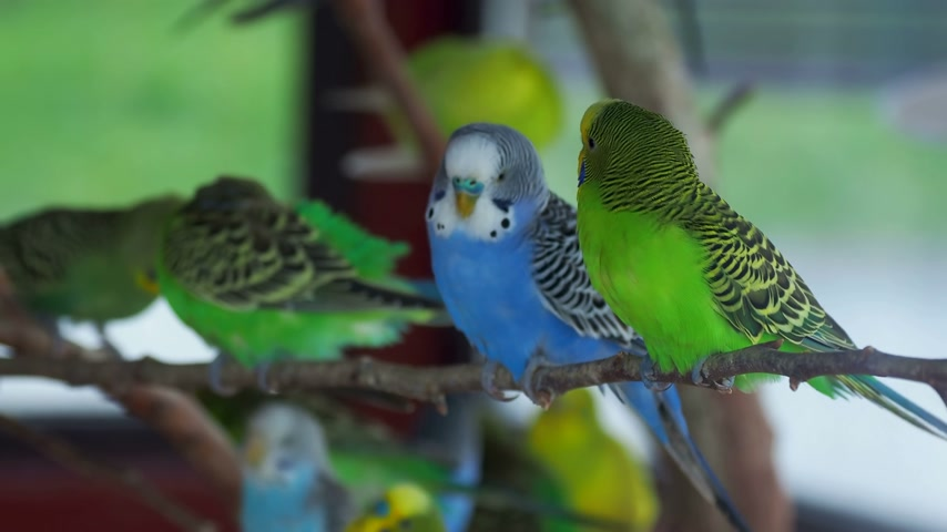 restless : Budgerigar or Melopsittacus undulatus or budgie or parakeet. Coloful green and blue birds are sitting on branch and cleaning feathers.