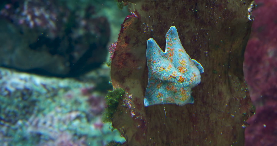 バット : Patiria pectinifera or blue bat star. Starfish sitting on coral in tank.