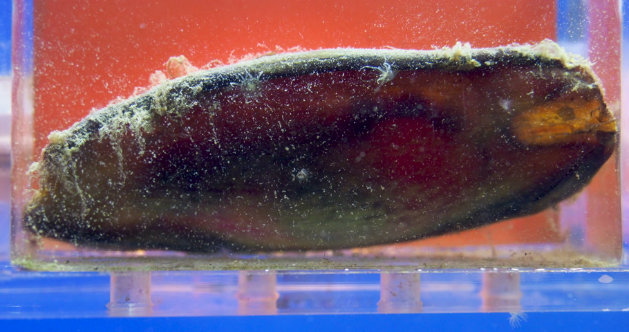 embrion : Shark embryo is moving in egg case or egg capsule.