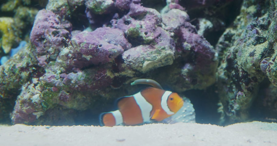palyaço : Amphiprion or Clown fish floats among corals. Stok Video