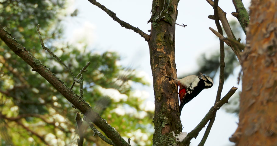 dendrocopos major : Great spotted woodpecker, Dendrocopos major, knocks on the bark of a tree, extracting edable insects. Bird in winter forest. Stock Footage
