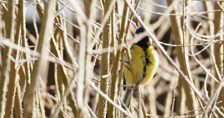 knocking : Great tit or Parus major jumping on tree branches in winter forest.