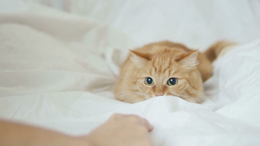 кусаться : Cute ginger cat playing with humans hand under white sheet. Morning bedtime, cozy home with fluffy pet. Стоковые видеозаписи