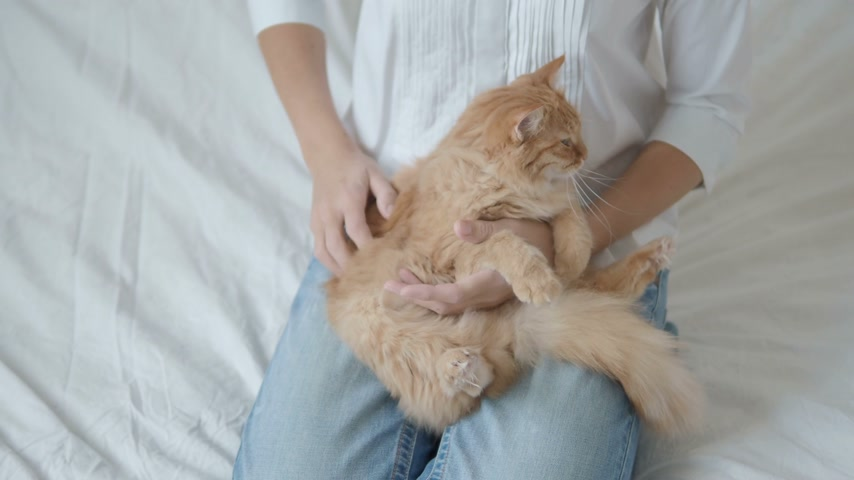 кошачий : Woman strokes cute ginger cat. Fluffy pet lying on her knees. Cute cozy background, morning bedtime at home.