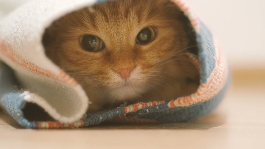 rolled : Cute ginger cat sitting inside rolled up carpet. Fluffy pet looks with curiosity.