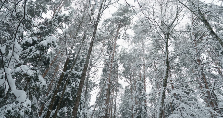 kâr : Snowfall in pine tree forest. Winter background in cloudy day.