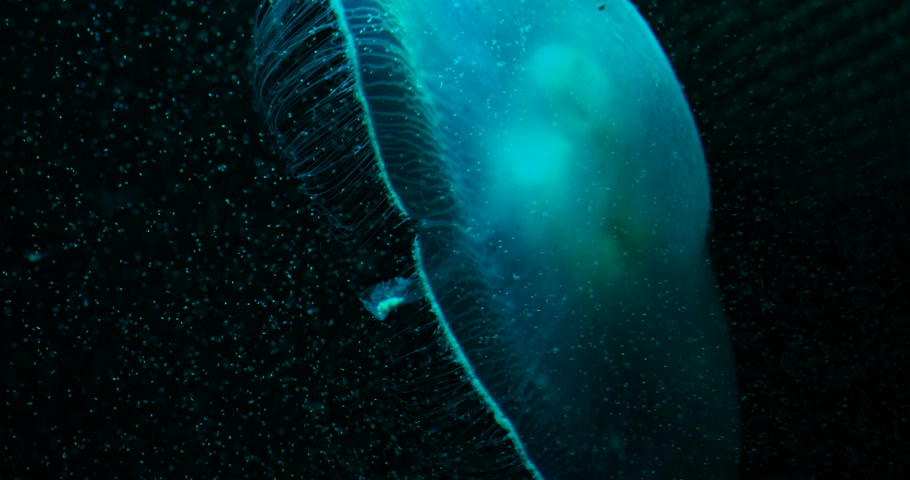 common : Aurelia aurita, also called common jellyfish, moon jellyfish, moon jelly or saucer jelly floating in tank and illuminated by lamps with different color of glow.