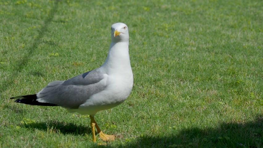 bámul : seagull is walking on green grass.