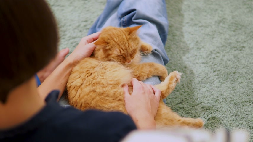 ковер : Woman is stroking cute ginger cat. Cozy family evening at home. Fluffy pet playing with pleasure.