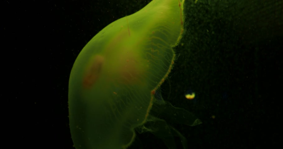 различный : Aurelia aurita, also called common jellyfish, moon jellyfish, moon jelly or saucer jelly floating in tank and illuminated by lamps with different color of glow.