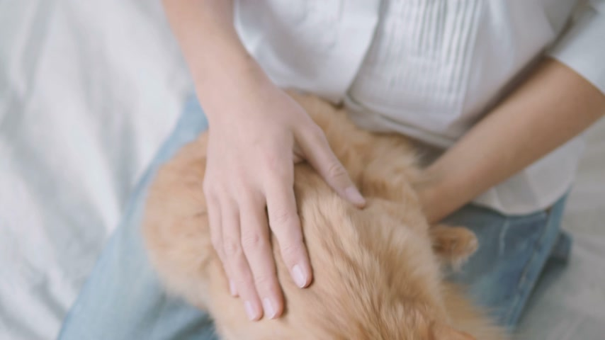 ronronar : Woman strokes cute ginger cat. Fluffy pet lying on her knees. Cute cozy background, morning bedtime at home.