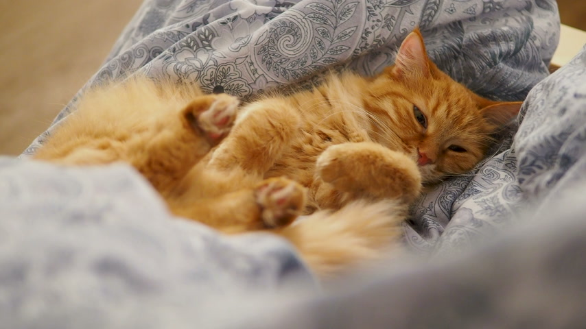 linen : Cute ginger cat lying belly up on chair. Fluffy pet dozing on blue linen. Cozy home. Stock Footage