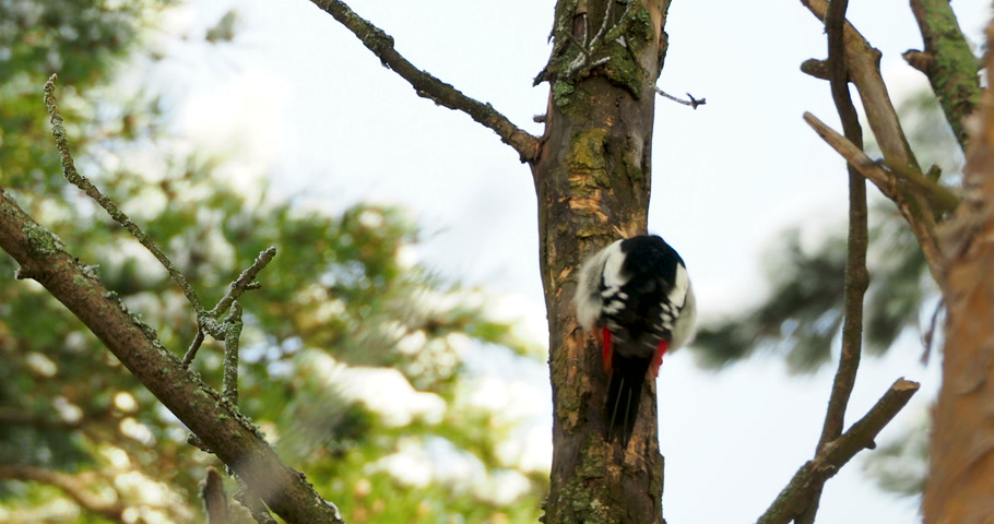 foltos : Great spotted woodpecker, Dendrocopos major, knocks on the bark of a tree, extracting edable insects. Bird in winter forest. Stock mozgókép