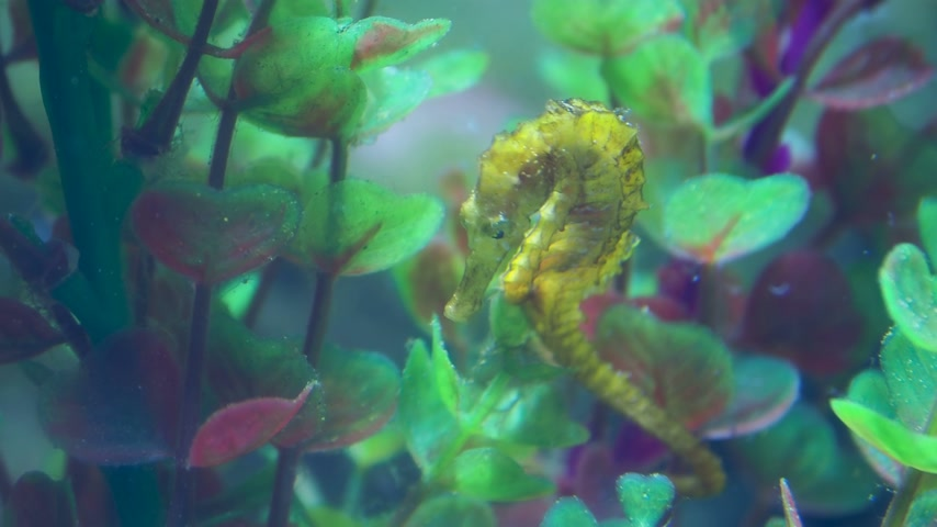 ismert : Hippocampus guttulatus, commonly known as the long-snouted seahorse. Yellow marine fish.