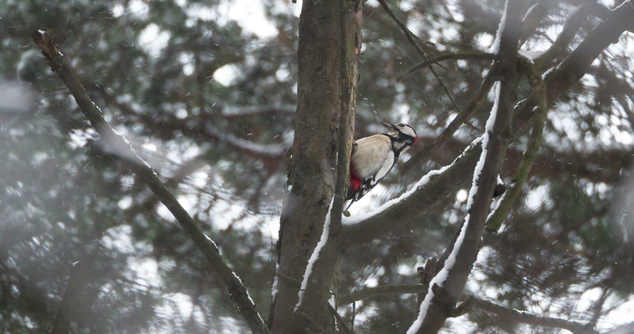 knocking : Great spotted woodpecker, Dendrocopos major, knocks on the bark of a tree, extracting edable insects. Bird in winter forest. Stock Footage