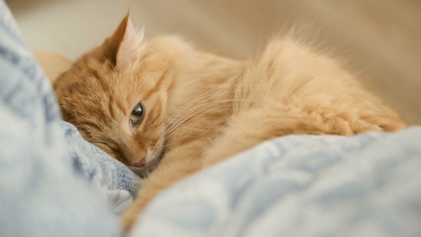 bed linen : Cute ginger cat lying on chair. Fluffy pet dozing on blue linen. Cozy home.
