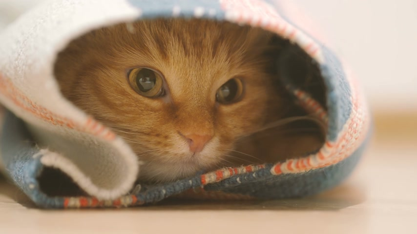 enrolado : Cute ginger cat sitting inside rolled up carpet. Fluffy pet looks with curiosity.