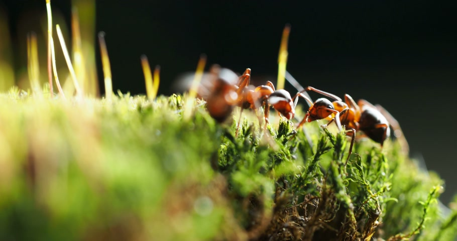 rolamento : Macro footage with moving ants on green moss.