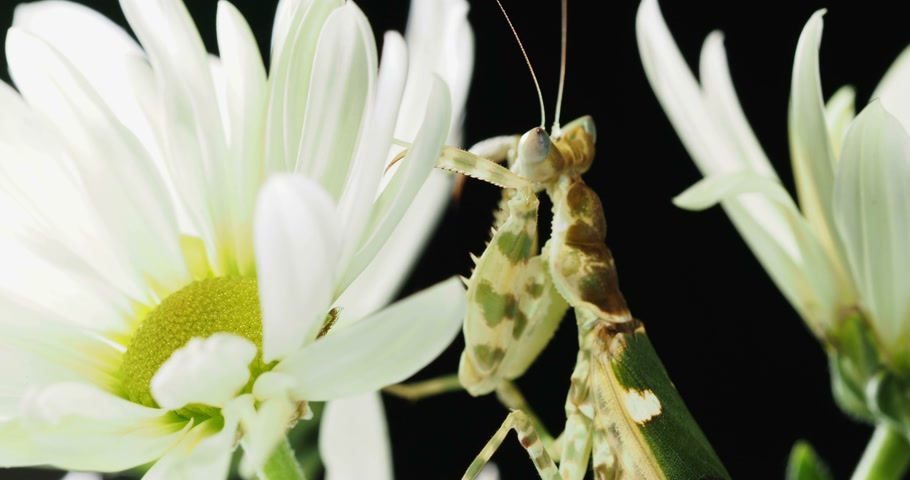százszorszépek : Creobroter meleagris mantis sitting on flower. Stock mozgókép