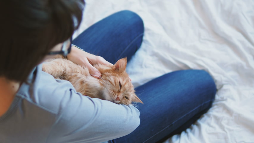 кошачий : Ginger cat lies on womans hands. The fluffy pet comfortably settled to sleep or to play. Cute cozy background with place for text. Morning bedtime at home. Стоковые видеозаписи