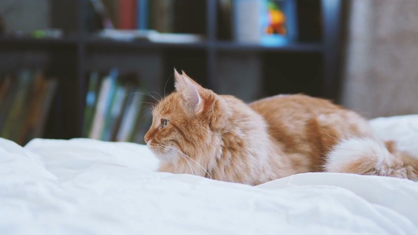 кошачий : Cute ginger cat lying in bed. Fluffy pet at cozy home. Стоковые видеозаписи