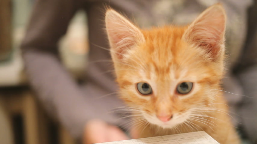 koťátko : Stray kitten was taken home. Fluffy playful pet sitting on woman lap. Woman stroking cute ginger cat