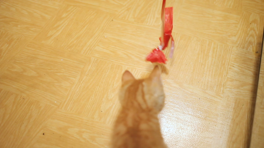 луки : Stray kitten was taken home. Fluffy playful pet playing with red paper bow on rope. Playful young cat.