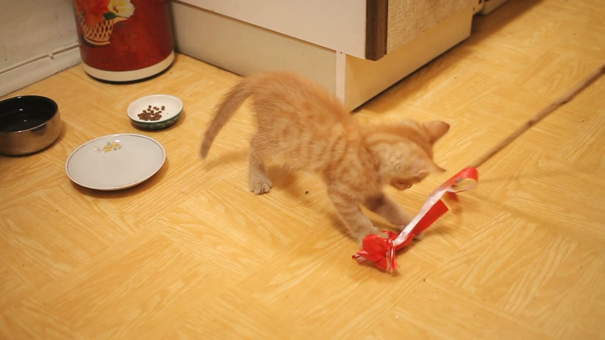 taken : Stray kitten was taken home. Fluffy playful pet playing with red paper bow on rope. Playful young cat.