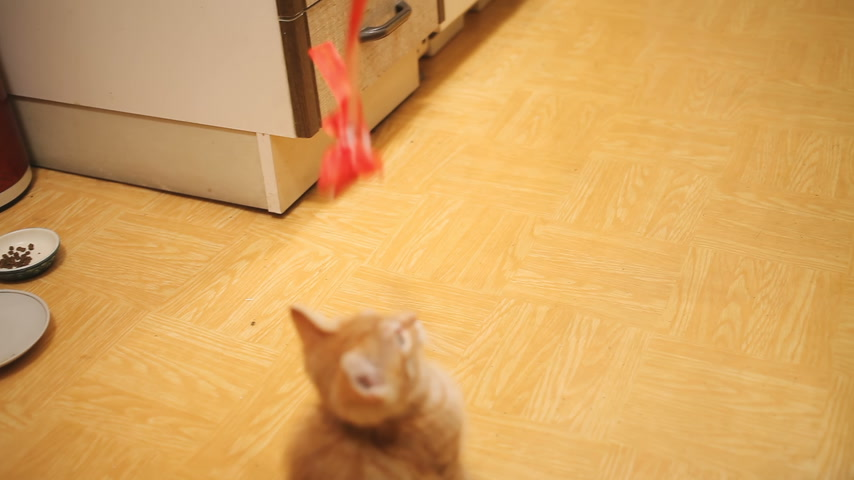 bitang : Stray kitten was taken home. Fluffy playful pet playing with red paper bow on rope. Playful young cat.
