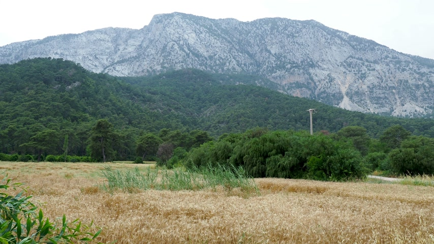 плотно : Wheat field at the foot of the mountain. Wheat ears are densely occupied by snails. Kemer, Turkey. Стоковые видеозаписи