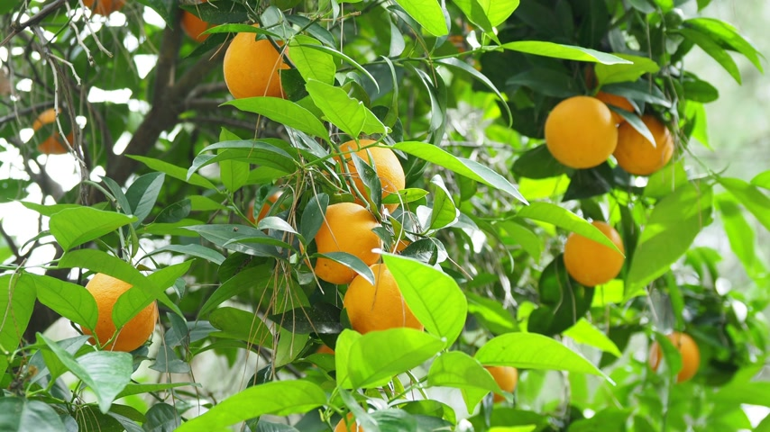 foodstuff : Orange tree with fresh ripe fruits in foliage. Turkey.