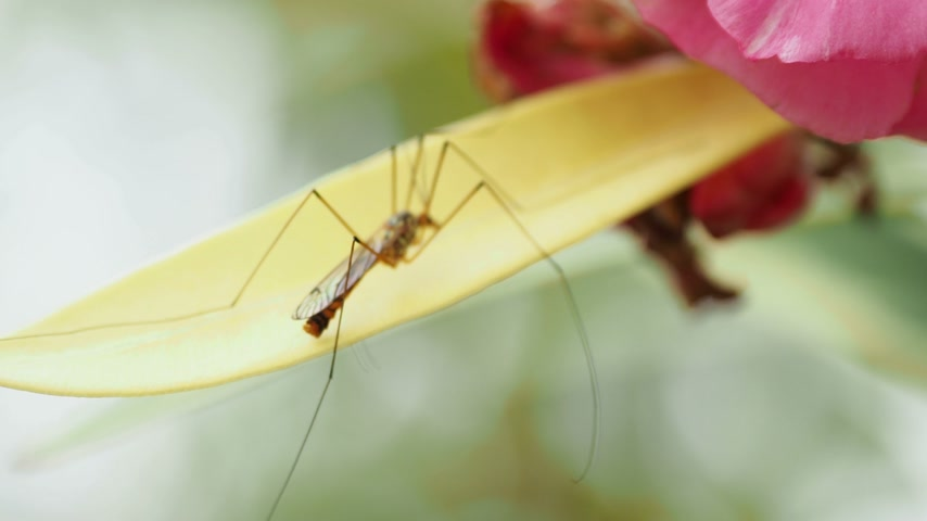 crane fly : Crane fly (Tipulidae) or mosquito hawks or daddy longlegs. Insect sitting on blooming flower.