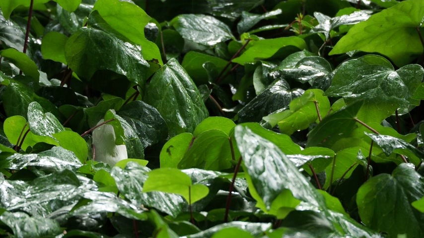 floriculture : Flower bed with plants under the rain. Wet foliage shining of raindrops.