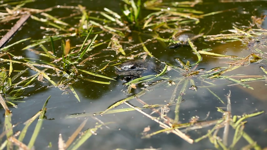 hüllő : Pond slider, Trachemys scripta. Turtle floating in pond with fallen leaves on water surface.