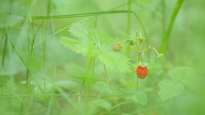 wild berries : Natural background with ripe berries of wild strawberry. Summer day in forest.